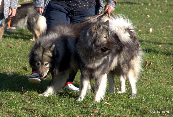 Ulven vom Traventhal und Jonte vom Lippe-Damm (KZG)