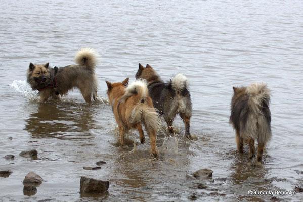 Buffy vom Besenhorst(hinten) lockt Billie, Bonny und Sanny ins Wasser