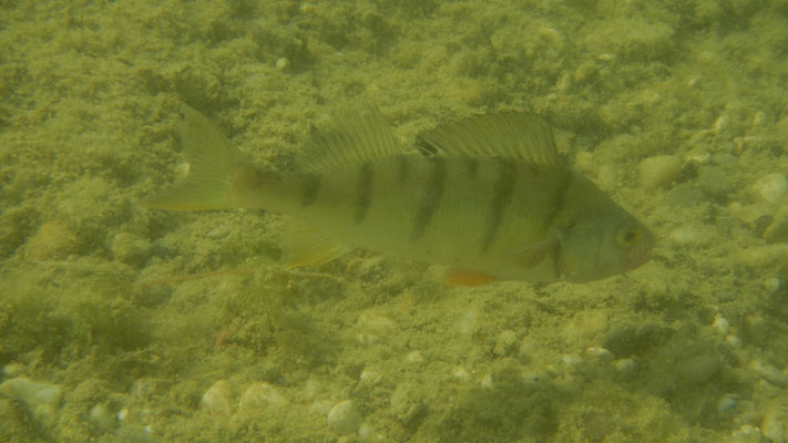 Flussbarsch-Unterwasser