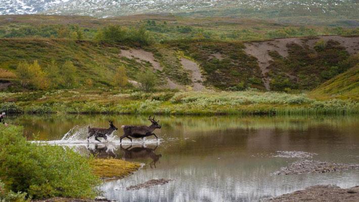 Sweden Reindeer