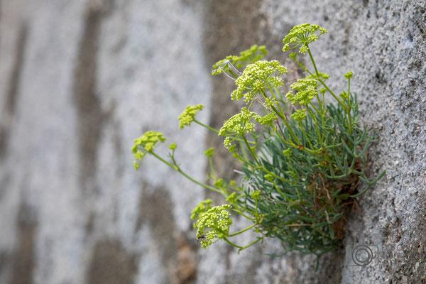 Blumen aus der Mauer