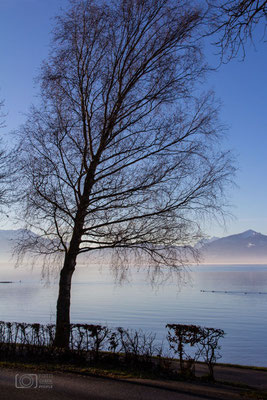 Baum am Chiemsee