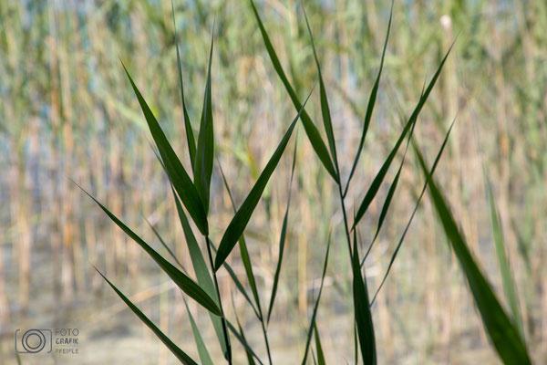 Gräser am Mattsee