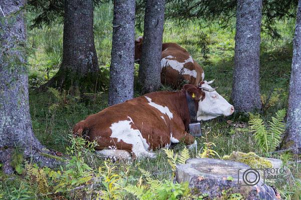 wiederkäuende Kuh am Rossfeld