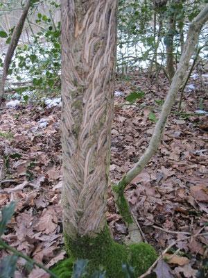 Dans les bois de Chagny, le tronc d'un houx a servi de nourriture à un cerf.
