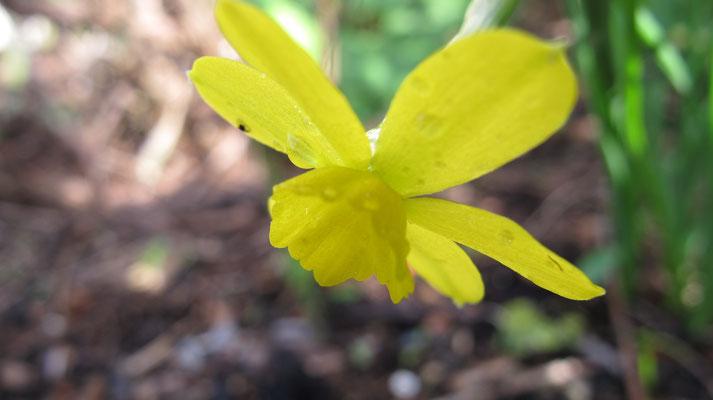 Narcissus watieri