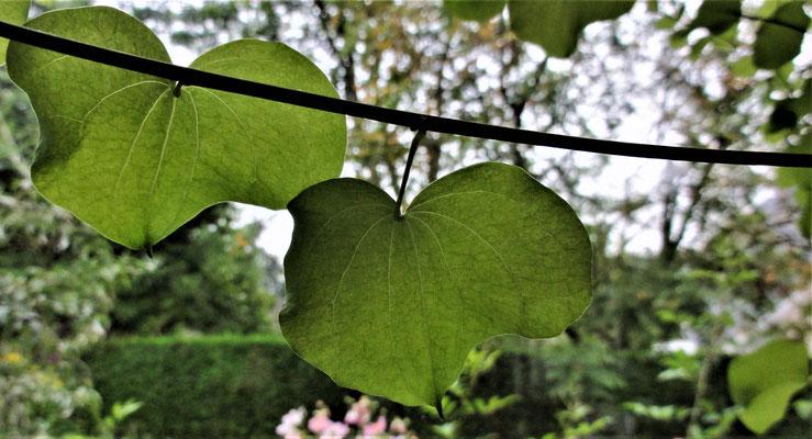 Dioscorea elephantipes (Testudinaria elephantipes), Hottentotsbrood of Olifantenpoot.