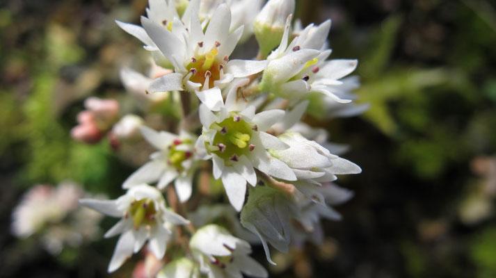 Aceriphyllum rossii