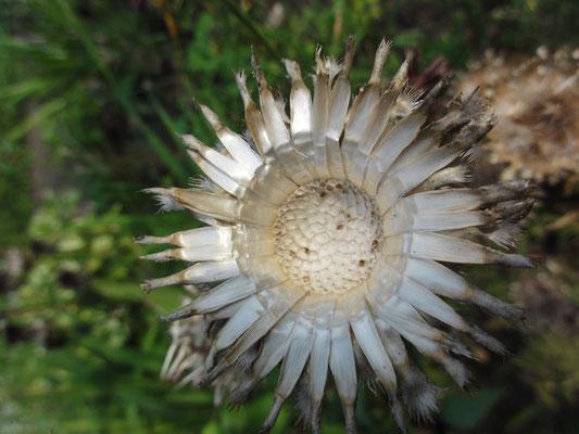 Centaurea benoistii, uitgebloeid en zo'n mooi hart!