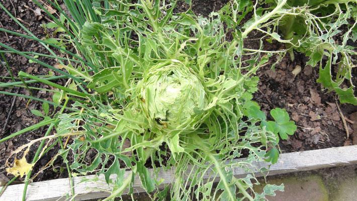 Brassica laciniata