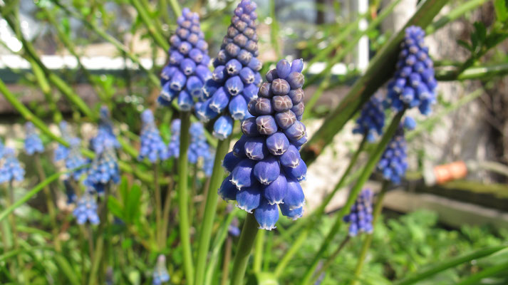 Muscari - blauwe druifjes