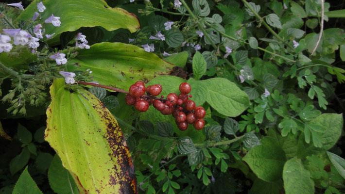 Smilacina racemosa