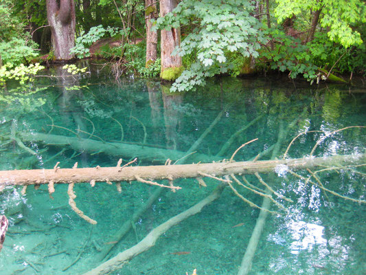 Sunken tree at Plitvice Lakes National Park