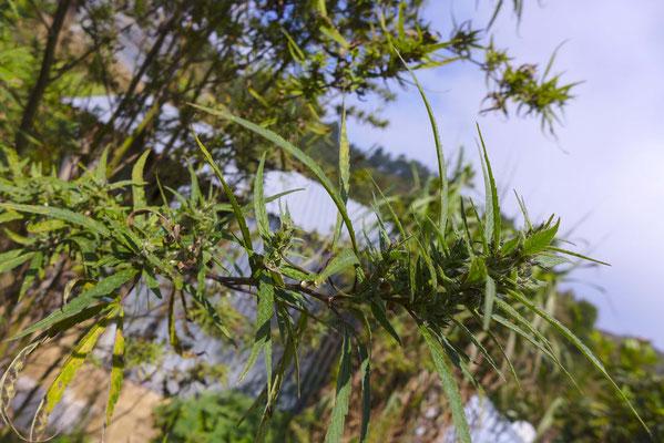Marihuana-Pflanze