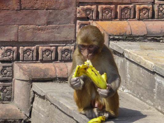 Affen werden nicht verehrt,