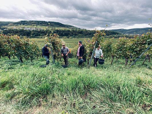 Traubenernte im Weingut Arns