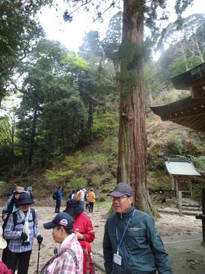 三島神社杉