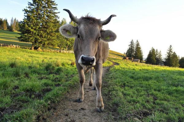 es gibt noch Kühe mit Hörnern!