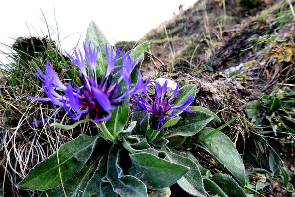 Berg-Flockenblume (gegoogelt)