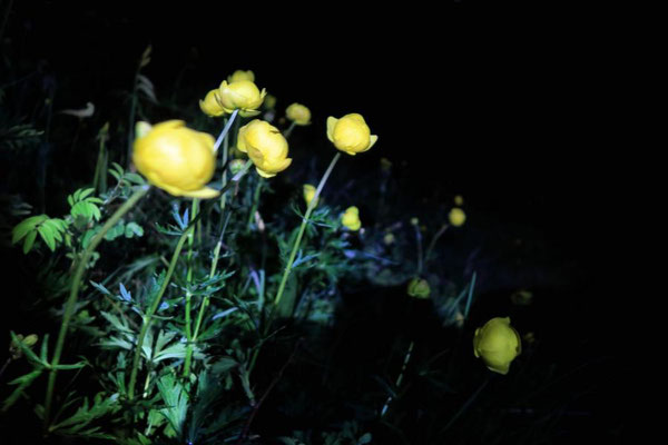 Butterblumen bei Nacht
