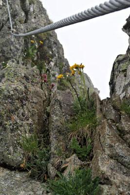 ...und immer wieder Blumen im kargen Fels