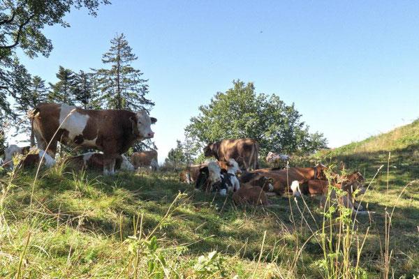 oben erwarten uns die Kühe