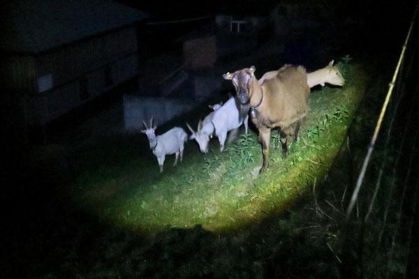 Ziegen im Lichtkegel...