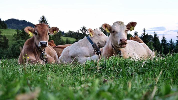 ...liegen auch schon Rinder herum