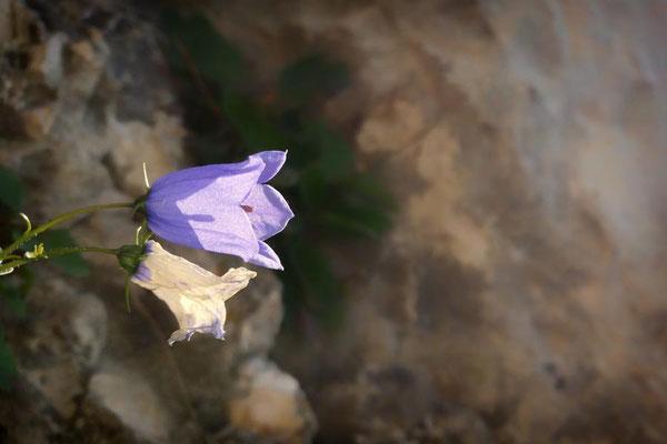 Glockenblume im Fels