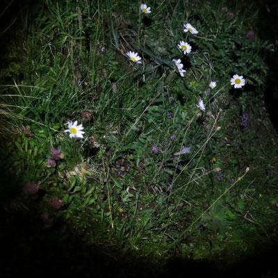 sie blühen auch nachts