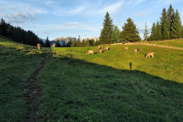friedliche Kühe