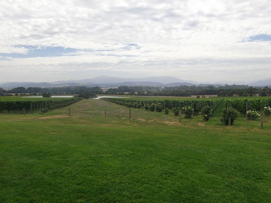 Chandon Winery - 一面に広がるブドウ畑