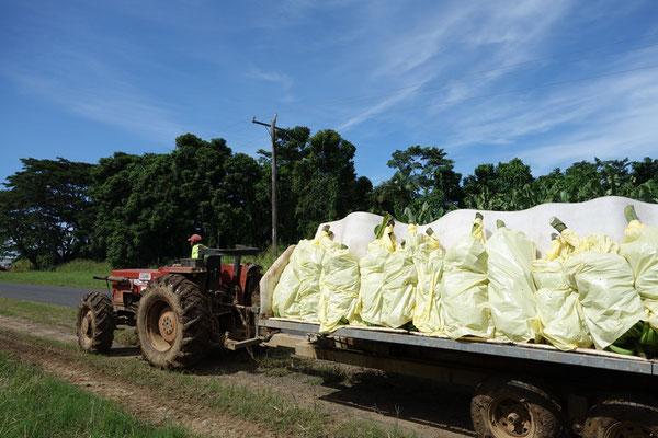 バナナファームの仕事 トラクターで収穫したバナナを工場に運ぶ