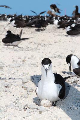 Great Barrier Reef - ミコマスケイはたくさんの野鳥が生息しているため特別保護地区にも指定されています。