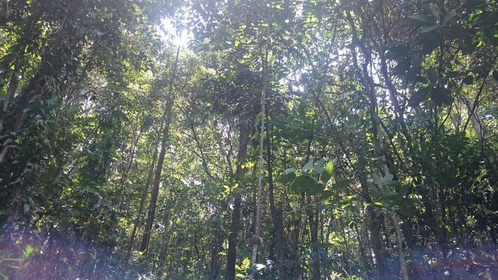 Kuranda - バロン滝に向かう遊歩道 マイナスイオンに満たされている空間