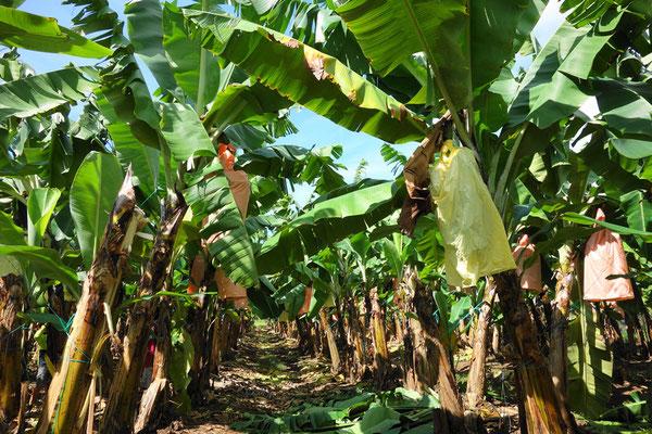 ケアンズ近郊(イニスフェイル)のバナナファーム