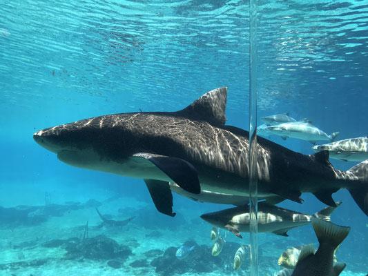 Gold Coast - Sea World Shark Bay 大きなサメも泳いでいます
