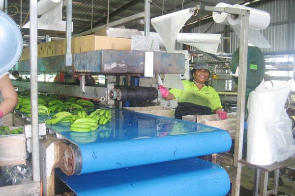 バナナファームの仕事