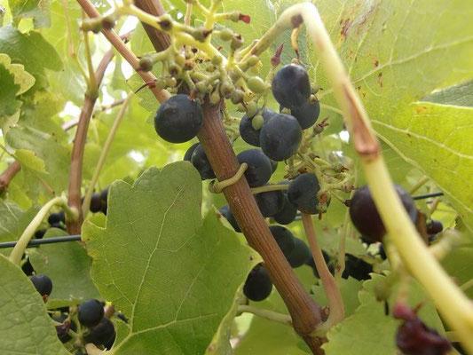Jacob's Creek Barossa Valley - これからワインになるブドウです。