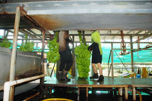 バナナファームの仕事 ハンギング作業