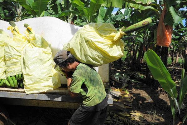 バナナファームの仕事 ハンピング(Humping)作業