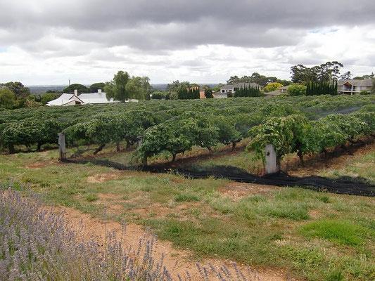 Penfolds Winery - ワイナリーに隣接するブドウ畑