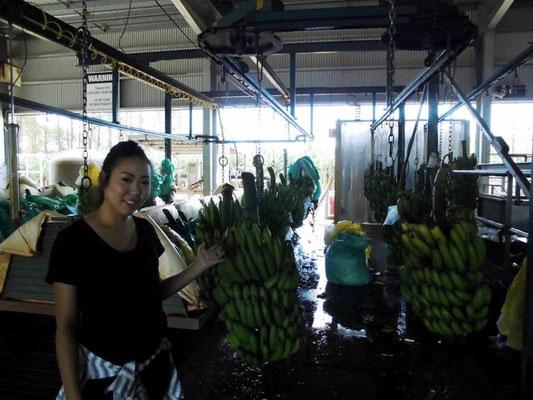 ケアンズ近郊(マリーバ)のバナナファーム