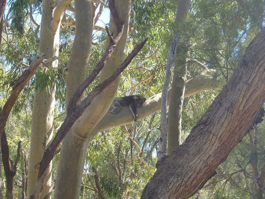 Cohunu Kala Park - 園内はコアラも放し飼いにされています。パースには野生のコアラは生息していないそうです。