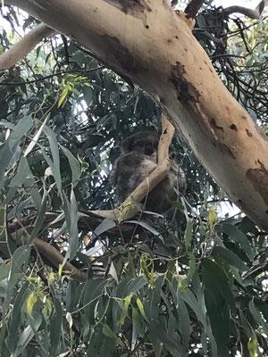 Great Ocean Road - グレートオーシャンロードでは野生のコアラを見ることができます