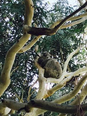 kennet River - ケネットリバーの最大の見所は、もちろん野生のコアラです。ケネットリバー辺りからコアラ生息地の看板が出ています。