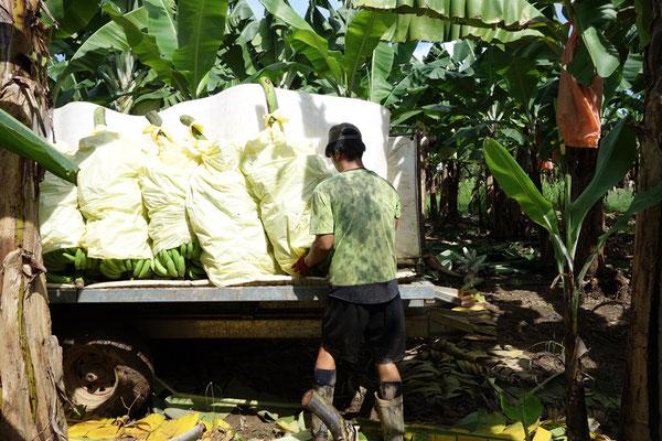 バナナファームの仕事 トラクターにバナナ積み込む作業