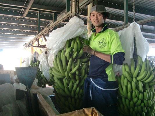 レイクランド(スイスファーム)バナナファームのシェッドの仕事