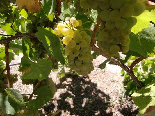 Swan Valley Perth - スワンバレーは白ワインがとても有名で、原料となるシャルドネという品種のブドウがたくさん栽培されています。