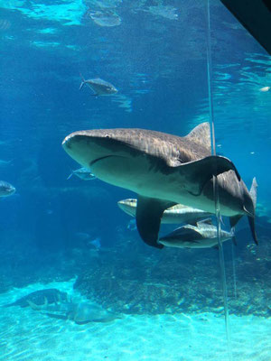 Gold Coast - Sea World Shark Bay サメの餌付け